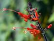 Salbei; Salvia praeclara