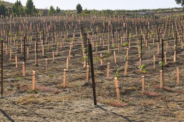 Grape vines in vineyard