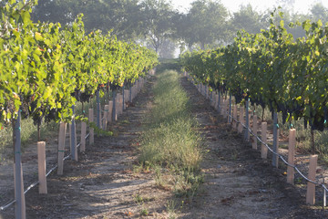 Grapes in vineyard