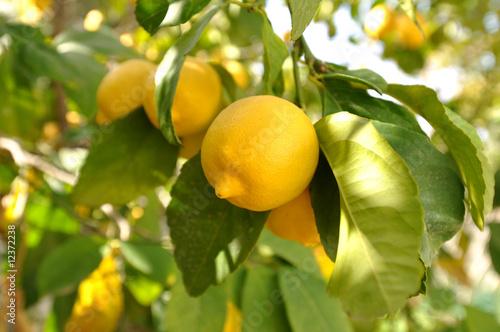 Fotobehang Midden Oosten Lemon