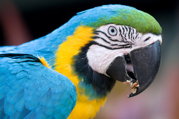 Blue and Gold Parrots 2