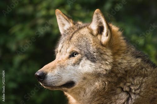 Fototapeta ssak - ssaki - Dziki Ssak