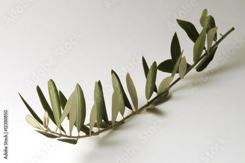 Ramoscello d ulivo immagini e fotografie royalty free su for Acquisto piante olivo