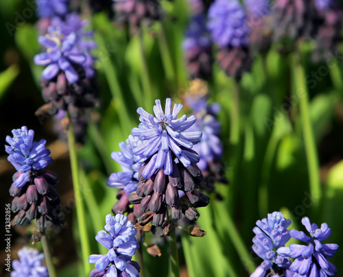 Grape Hyacinth, Muscari armeniacum