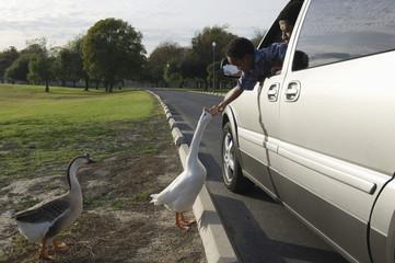 Boy 5-6 feeding geese from car