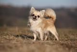 Fototapety chihuahua à poil long de profil,trois quart,jolie lumière