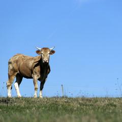 vache à cornes