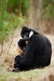White-cheeked gibbon (Nomascus leucogenys) poster