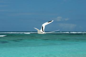 Paille en queue dans l'océan indien
