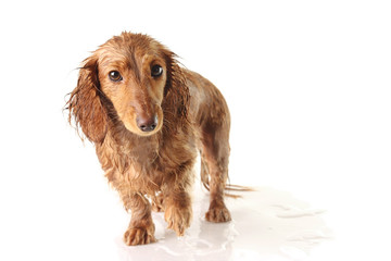 Soaked puppy looking very unhappy.