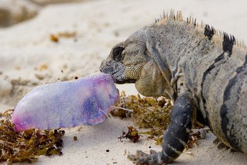 Iguana eating jellyfish