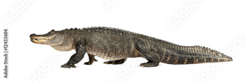Deurstickers Krokodil American Alligator (30 years) - Alligator mississippiensis
