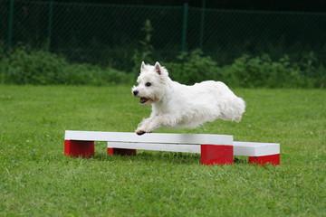 le saut de haie du terrier d'écosse au concours d'agility