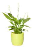 Spathiphyllum ( spath,  peace lily) in a pale green pot isolated poster