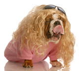 funny dog dressed in drag - bulldog dressed up as a woman poster