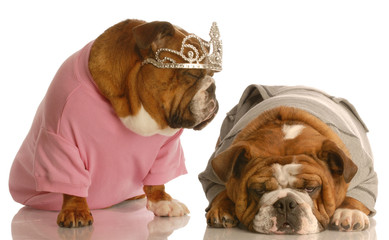 english bulldog tired of another dog giving the diva routine..