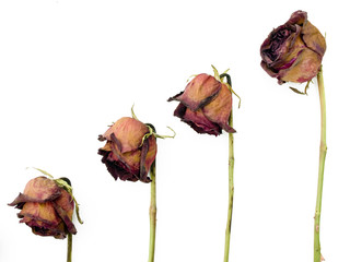 Row of 4 old dried red roses against a white background