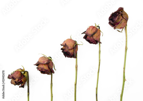 Row of 5 old dried red roses against a dark background