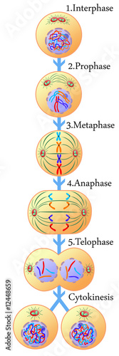 Mitosis of a somatic cell