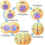 Mitózis és a sejtciklus