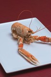 Nephrops norvegicus or Norway lobster 13