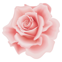Vector Isolated Beautiful Pink Rose on the White Background