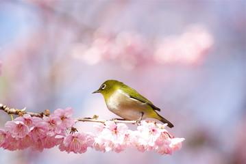 めじろと大寒桜