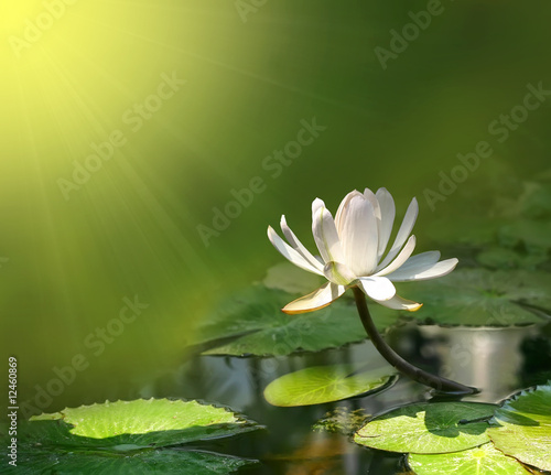 Poster Water planten Lily flower on a green background