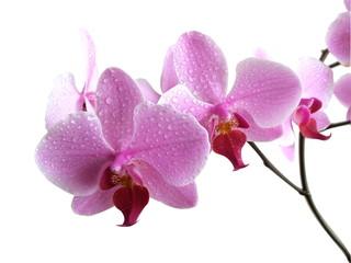 Aplectrum flower