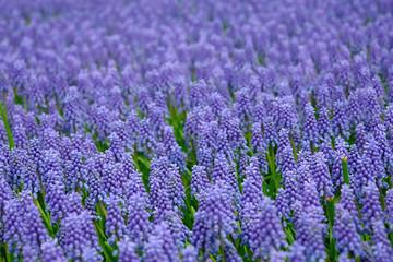 Natural backgrounds: Bluebells