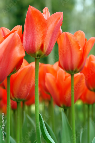 Red tulips, Keukenhof gardens, the Netherlands