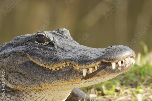 Alligator Head Shot