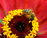 včela leží na červený květ