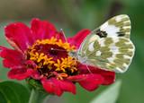 bílý motýl sedí na červený květ