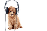 Apricot poodle puppy listening to music on headphones. Isolated