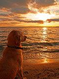 Fototapety Dog watching sunset