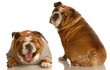 two bulldog with funny looking expressions - animal behavior