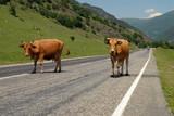 krávy jít na silnici do hory. kavkaz. rusko.