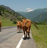 krávy jít na silnici do hory. kavkaz. rusko