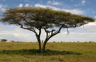 The lion rest on the tree in african savannah