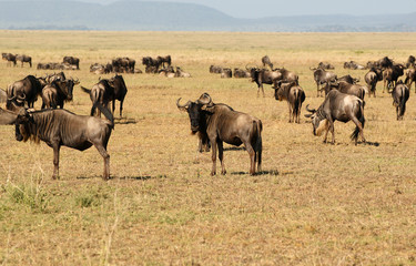 The wildebeest (gnu) - African antelope.