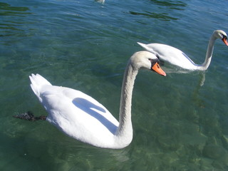 swans in the annecy's lake