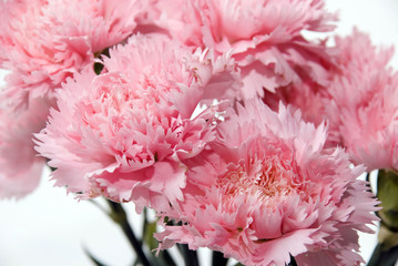 Close up shot of pink carnation flower