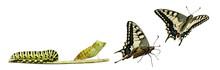 """Постер, картина, фотообои """"Butterfly metamorphosis"""""""