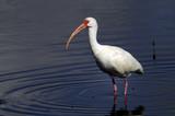 american white ibis portrait poster