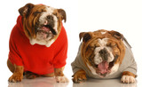 two bulldogs laughing hysterically