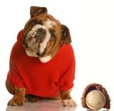 sports hound - english bulldog with baseball and glove poster