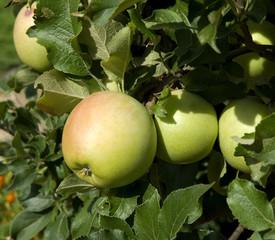 Zuccalmaglio; Apfel