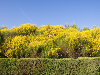 Scotch Broom in full bloom at spring