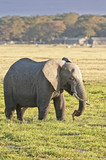 elephant grazing in wetland poster